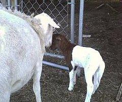 baby lamb born May 14
